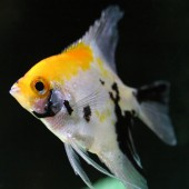 Tricolor Melek Balığı