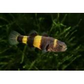 Arı Balığı