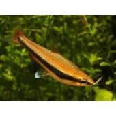 Kalem balığı
